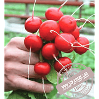 Rijk Zwaan Ирен F1 (Irene F1) семена редиски Rijk Zwaan, оригинальная упаковка (250 грамм)
