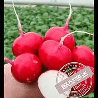 Rijk Zwaan Валери F1 (Valeri F1)  семена редиски Rijk Zwaan, оригинальная упаковка (25000 семян, калиброванные Ǿ 2.50-2.75)