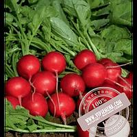 Rijk Zwaan Мондиал F1 (Mondial F1) Ǿ 2.75-3.00 семена редиски Rijk Zwaan, оригинальная упаковка (25000 семян, калиброванные)