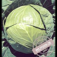 Hazera Бaлбро F1 (Balbro F1) семена капусты белокочанной Hazera, оригинальная упаковка (2500 семян калиброваные)