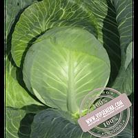 Hazera Ландини F1 (Landini F1) семена капусты белокочанной Hazera, оригинальная упаковка (2500 семян)