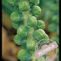 Hazera Бриллиант F1 (Brilliant F1) семена капусты брюссельской Hazera, оригинальная упаковка (2500 семян)