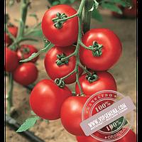 Vilmorin Джадело F1 (Jadelo F1) семена томата индетерминантного красного Vilmorin, оригинальная упаковка (500 семян)