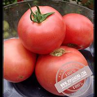Vilmorin VP-2 F1 (VP-2 F1) семена томата индетерминантного розового Vilmorin, оригинальная упаковка (1000 семян)