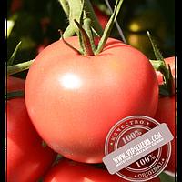 Hazera Пинк Джаз F1 (Pink Jazz F1) семена томата индетерминантного розового Hazera, оригинальная упаковка (500 семян)