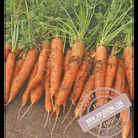 Vilmorin Ред Коред (Red Cored) семена моркови типа Шантане Vilmorin, оригинальная упаковка (500000 семян)