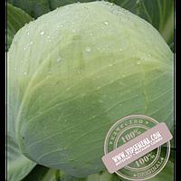 Hazera Золтан F1 (Zoltan F1) семена капусты белокочанной Hazera, оригинальная упаковка (2500 семян калиброванные)