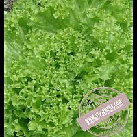 Enza Zaden Перл Джем (Perl Djem) семена салата типа Батавия Enza Zaden,оригинальная упаковка (5 грамм)