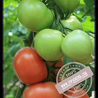 Enza Zaden Ралли F1 (Ralli F1) семена томата индетерминантного для пленочных теплиц Enza Zaden, оригинальная упаковка (500 семян)