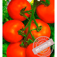 Bejo Толстой F1 (Tolstoi F1) семена томата индетерминантного Bejo, оригинальная упаковка (5 грамм)