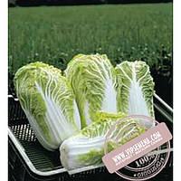 Bejo Билко F1 (Bilko F1) семена пекинской капусты Bejo, оригинальная упаковка (10000 семян, прецизионные)
