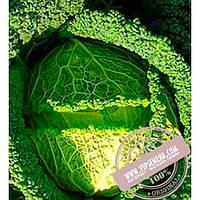 Bejo Мелиса F1 (Melissa F1) семена савойской капусты Bejo, оригинальная упаковка (2500 семян, прецизионные)