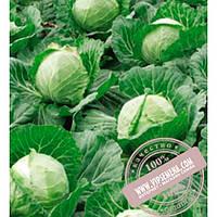 Bejo Парел F1 (Parel F1) семена капусты белокочанной Bejo, оригинальная упаковка (2500 семян, сортированные)