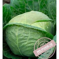 Bejo Катарина F1 (Katarina F1) семена капусты белокочанной Bejo, оригинальная упаковка (2500 семян, сортированные)