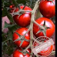 Clause Бронсон F1 (Bronson F1) семена томата черного, индетер, Clause, оригинальная упаковка (250 семян)