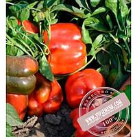 Clause Карисма F1 (Karisma F1) семена перца сладкого, Clause, оригинальная упаковка (1000 семян)