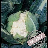 Syngenta Кортес F1 (Kortes F1) семена цветной капусты Syngenta, оригинальная упаковка (2500 семян)