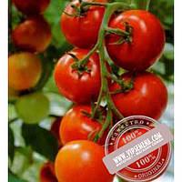 Тирас Тастиер F1 (Tastier F1) семена индетерминантного томата Moravoseed, оригинальная упаковка (500 семян)