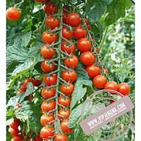 Тирас Шерола F1 (Sherola F1) семена индетерминантного томата Moravoseed, оригинальная упаковка (500 семян)