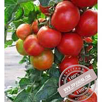 Тирас Педро F1 (Pedro F1) семена индетерминантного томата Moravoseed, оригинальная упаковка (500 семян)