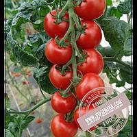 Тирас Спенсер (Spenser) семена индетерминантного томата Moravoseed, оригинальная упаковка (500 семян)