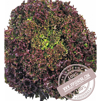 Тирас Кримсон (Krimson) семена салата типа Лолло Росса Moravoseed, оригинальная упаковка (10000 семян)
