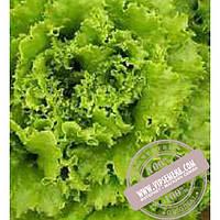Тирас Пражан (Prajan) семена Батавия салата Moravoseed, оригинальная упаковка (10000 семян)