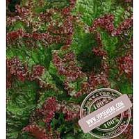 Тирас Робин (Robin) семена Дуболистного салата Moravoseed, оригинальная упаковка (10000 семян)