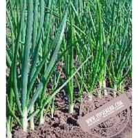 Тирас Эльвира (Elvira) семена лука на перо Moravoseed, оригинальная упаковка (25000 семян)