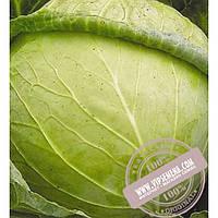 Тирас Авак F1 (Avak F1) семена капусты белокочанной Moravoseed, оригинальная упаковка (2500 семян)