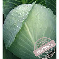 Тирас Атила F1 (Atila F1) семена капусты белокочанной Moravoseed, оригинальная упаковка (10000 семян)