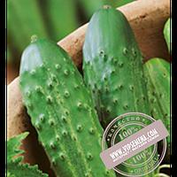 Элитный Ряд Зубрёнок F1 (Zubrenok F1) семена огурца пчёлоопыляемого Элитный Ряд, оригинальная упаковка (1000 грамм)