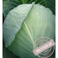 Тирас Атила F1 (Atila F1) семена капусты белокочанной Moravoseed, оригинальная упаковка (2500 семян)