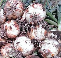 Семена лука озимого Эталон Сан 500гр.Италия, фото 1