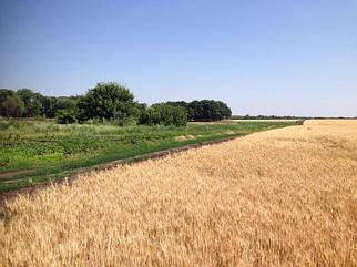 Как выбрать сорт озимой пшеницы для посева