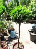 Кипарисовик Лавсона -Сhamaecyparis lawsoniana штамб 120 см.