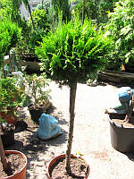 Кипарисовик Лавсона -Сhamaecyparis lawsoniana штамб 120 см., фото 1