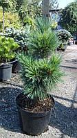Сосна гибкая Ван дер Волфс Пирамид (Pinus flexilis Van der Wolf's Pyramid)