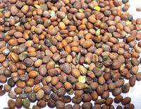 Продаем семена редька масличная