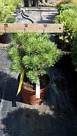 Сосна горная Moпс (Pinus mugo 'Mops')
