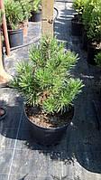 Сосна горная Голден Глоу (Pinus mugo Golden Glow)