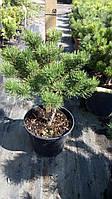 Сосна горная Винтер Голд (Pinus mugo 'Winter Gold')