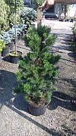 Сосна горная Кобольд  (Pinus mugo 'Kobold')