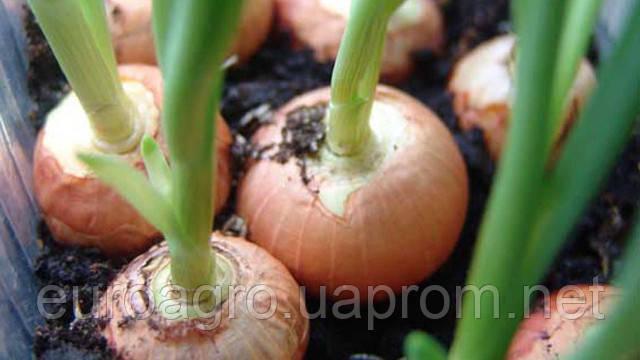 В этом году урожай лука обещает быть высоким