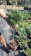 Сосна обыкновенная Тресур (Pinus sylvestris 'Treasure')