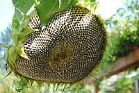 Семена подсолнечника Бонд  под гранстар