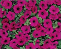 Петунія ампельна Ванде Вейв F1 (колір на вибір) 100 шт., фото 1
