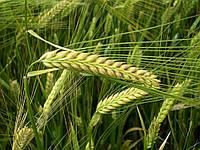 Семена озимого ячменя Жерар (элита)