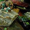 Лежащая лягушка на камне, фото 2