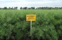 Рохан семена озимого рапса Lembke